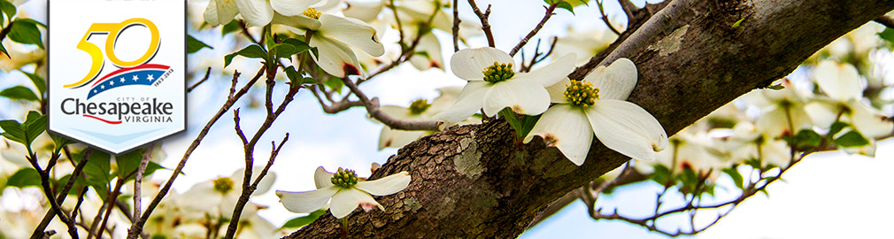 Dogwood Tree Flowers in Chesapeake, VA - photo by Joyce Hanni