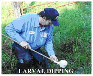 Larval Dipping - photo