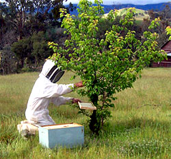 beekeeper ving honey bees