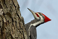 Woodpecker - photograph