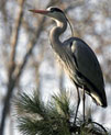 Blue Heron - on branch