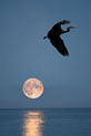 Blue Heron - with moon in background